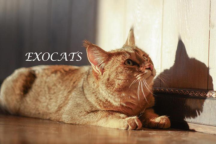 кошка чаузи фото цена