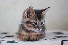 Картинки по запросу чаузи котята